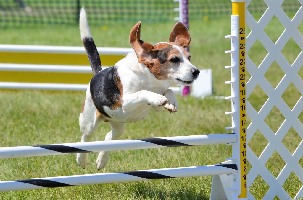 Perro saltando obstáculos